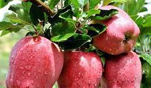 中國地理標誌產品-花牛蘋果
