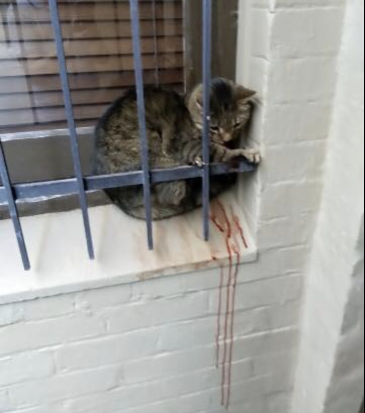 A photo of the missing cat while sitting on the window sill in Newtown with blood running down the bricks.