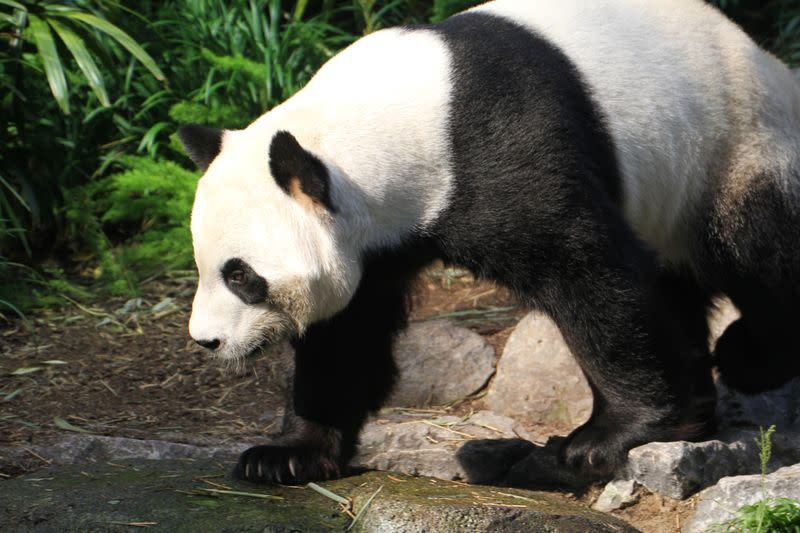 Adult male panda Da Mao is seen in an undated photograph provided by the Calgary Zoo