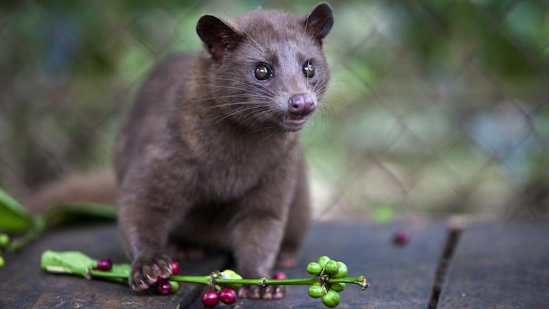 A luwak kept in a cage snacks on coffee berries in Indonesia