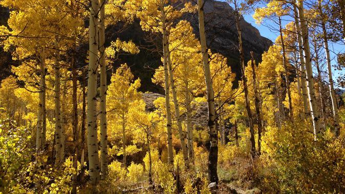 Populus tremuloides (wikimedia commons)