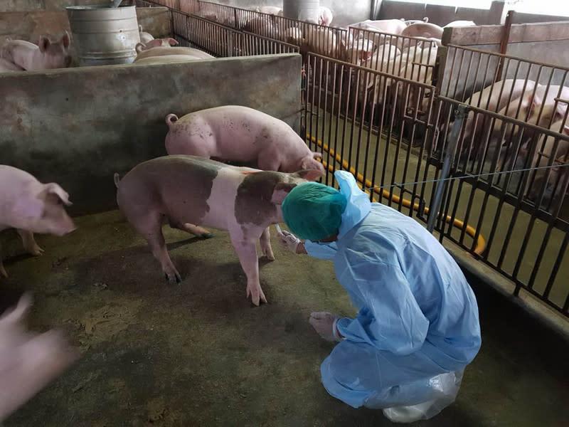 口蹄疫才要拔針 延燒恐再重創養豬業
