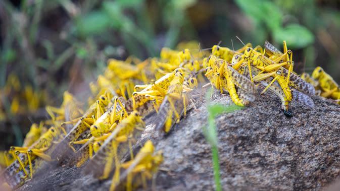 Sekawanan belalang gurun menyerbu beberapa wilayah di Kota Mwingi di Kitui County, Kenya (20/2/2020). Fenomena cuaca ekstrem akibat krisis iklim menjadi normal baru di kawasan Tanduk Afrika saat aktivitas siklon dan hujan lebat menyebabkan peningkatan belalang gurun. (Xinhua/Zhang Yu)