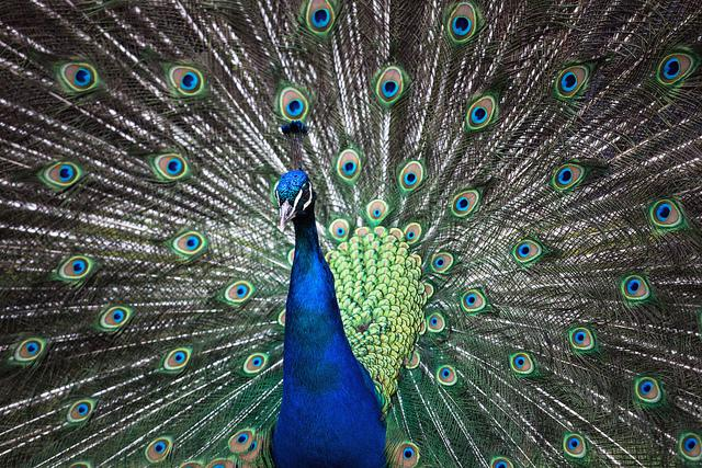 Flickr photo of the day: Juno and the Peacock