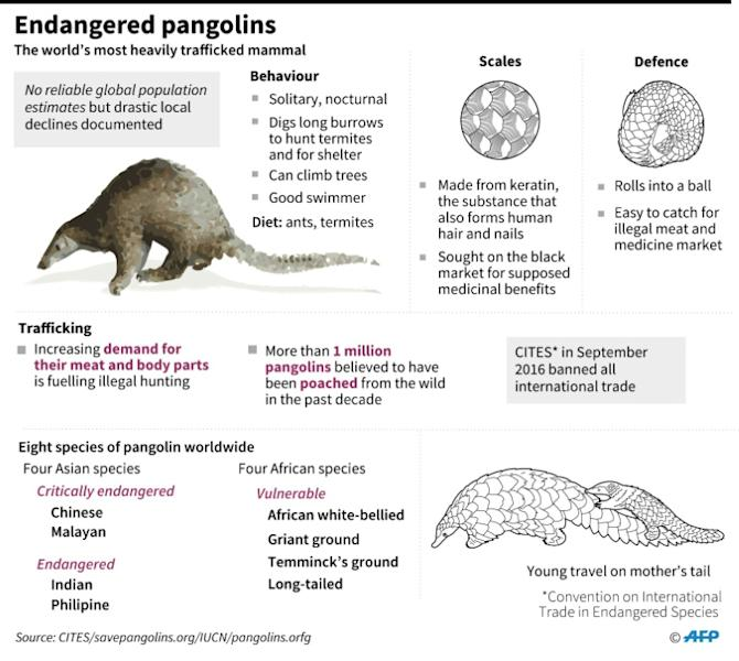 Graphic on pangolins, the world's most heavily trafficked mammal