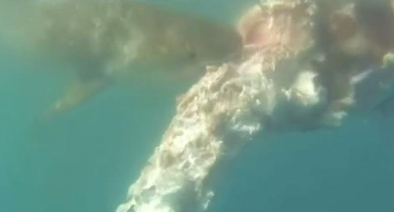 Video shows the shark feasting