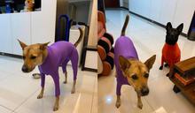 寒流來襲!媽媽給狗套上「超級緊身衣」 網笑:韻律體操服?