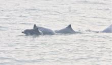 尋找離岸風機與白海豚共存之道——水下噪音如何監測與減輕