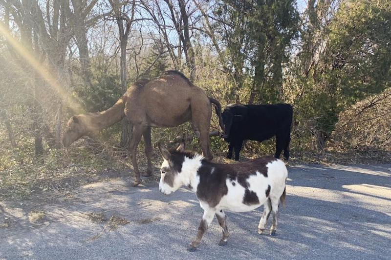 Unta, sapi dan keledai ditemukan berkeliaran bareng di jalanan Kansas
