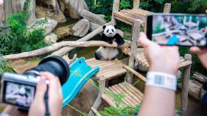 Panda raksasa Yi Yi jadi objek foto pengunjung Kebun Binatang Nasional Malaysia, Selasa (14/1/2020). Orangtua Yi Yi, Xing Xing dan Liang Liang, tiba di Malaysia pada tahun 2014 lalu. (Xinhua/Zhu Wei)