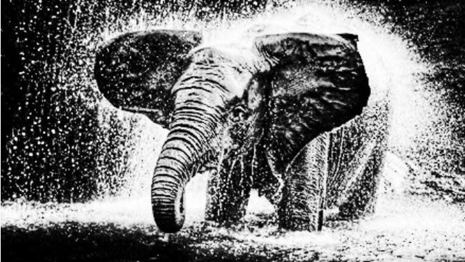 Ilustrasi gajah. (Liputan6.com/Rino Abonita)
