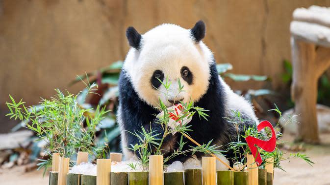 Panda raksasa Yi Yi menikmati kudapan ulang tahun di Kebun Binatang Nasional Malaysia, Selasa (14/1/2020). Yi Yi merupakan panda raksasa kedua yang lahir di Malaysia. (Xinhua/Zhu Wei)