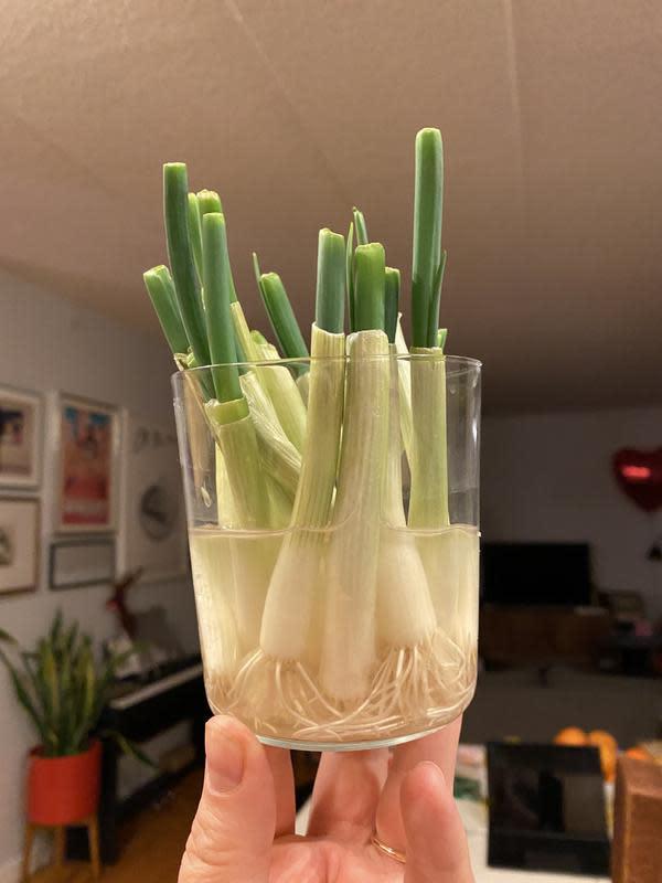 Memanfaatkan kembali batang daun bawang (dok. Twitter @hells/ https://twitter.com/hels/status/1247316933210505216/photo/1/ Brigitta Bellion)