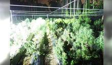 全台最大大麻植栽工廠被抄了!藏身民宅3樓技術了得 才種半年規模就達上千株