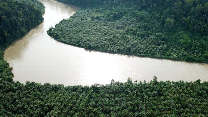 Perkebunan kelapa sawit ilegal di Taman Nasional Gunung Leuser, Aceh, Kamis (1/11). Pohon-pohon tersebut ditanam sejak tahun 2014 di kawasan hutan lindung. (JANUAR/AFP)
