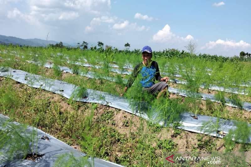 Petani Temanggung kembangkan asparagus