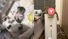 懶散貓「肥肥又怕熱」還天生小衰臉 網爆笑:是厭世肥宅喵!