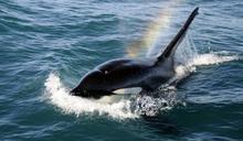 讓科學家撓頭的奇事:大西洋中 虎鯨結伴「騷擾」帆船