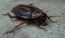 蟑螂吃起來啥味道?他曝光真實口味