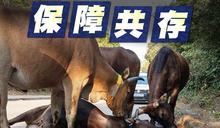 流浪牛亂走頻生意外 議員促覓地安置嚴控繁殖