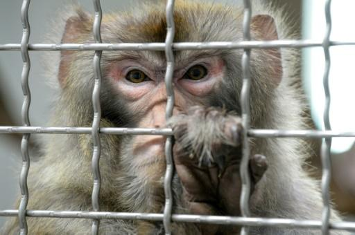Chinese Experiment Creates Super Monkeys With Human Brain Genes