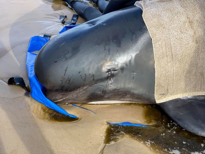 Australia plans disposal of hundreds of stranded whale carcasses