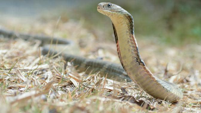 Ilustrasi: ular Kobra Raja (Wikimedia Commons)