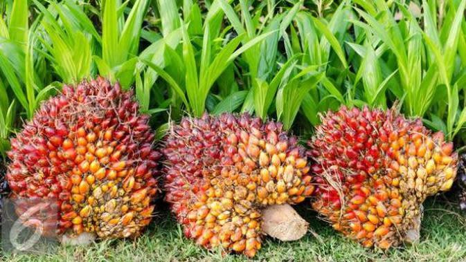 Buah kelapa sawit. (iStockphoto)