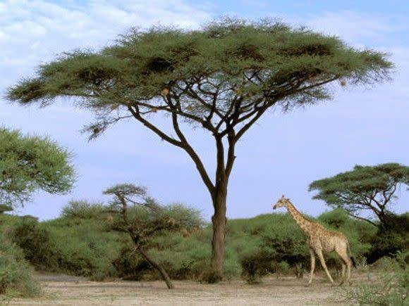 دلتا أوكافنجو.. جنة عدن الإفريقية !!  Oxford-pete-southern-giraffe-and-acacia-tree-okavango-delta-botswana