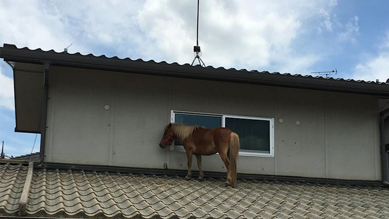 A miniature pony was found stranded on a roof after being swept away by flood waters in Japan