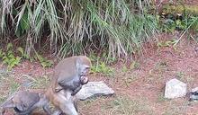 玉山小猴遭路殺 母猴抱屍7日終放下