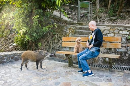 There are no official estimates of the total population of wild pigs in Hong Kong but country park camera surveys have recorded an increase in number and a wider spread than 20 year ago�
