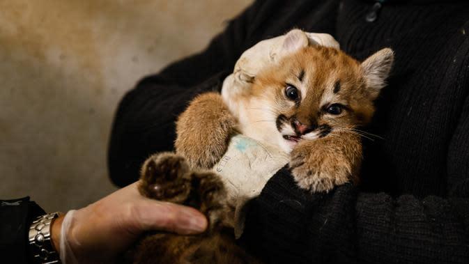 Seorang penjaga kebun binatang memegang bayi puma berusia satu setengah bulan bernama Emy terlihat di kandangnya di Zoo de Vincennes, dekat Paris pada Selasa (13/10/2020). Emy merupakan puma pertama yang lahir di Zoo de Vincennes pada 21 Agustus lalu. (Thomas SAMSON / AFP)