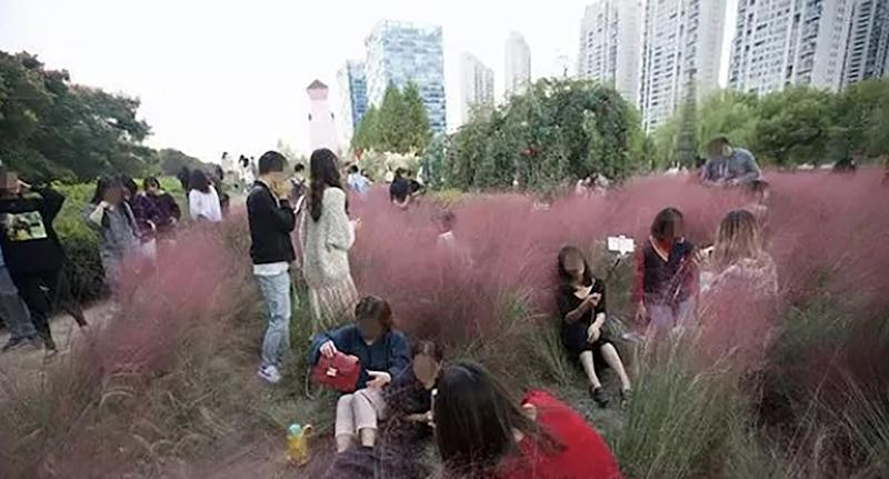 Photos show scores of selfie-obsessed visitors lying in the field and trampling on the long ornamental grass.