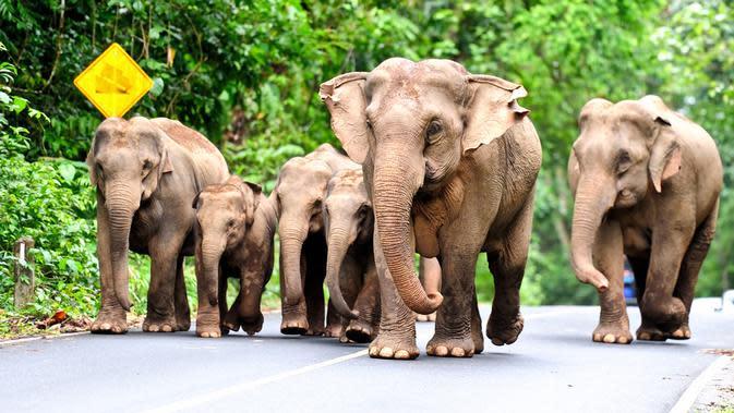 Gajah adalah salah satu satwa liar di Thailand yang banyak menarik perhatian wisatawan.