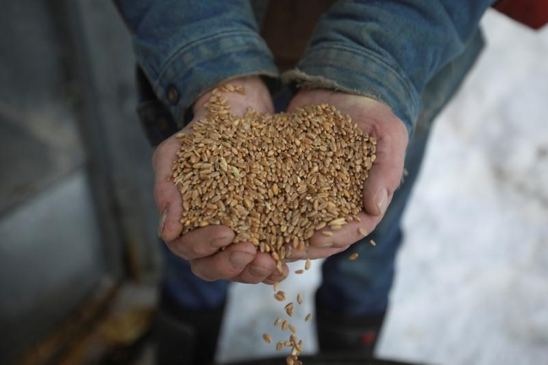 Wheat in Whitehorse: how climate change helps feed Canada's remote regions