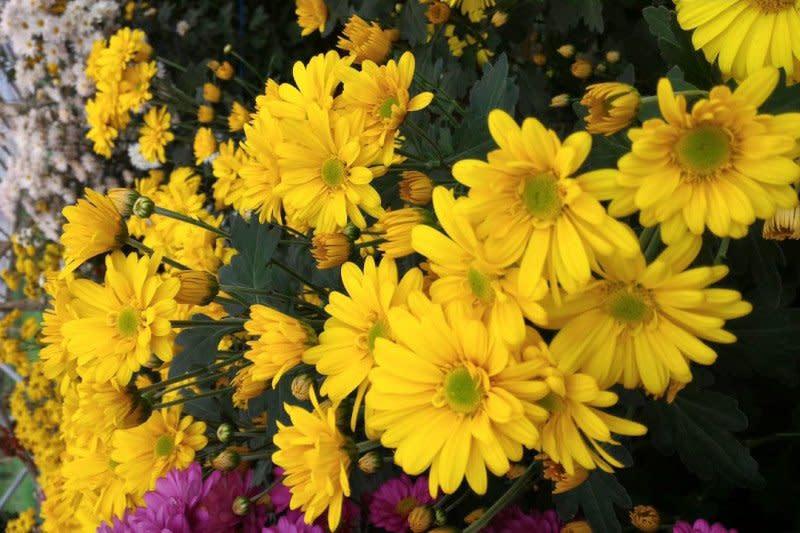 Sentra tanaman hias Tomohon budidaya krisan Balitbangtan
