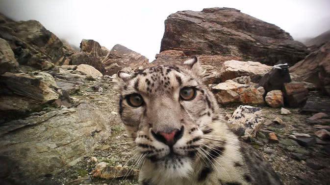 Seekor macan tutul salju tampak dalam foto inframerah tanpa tanggal yang diabadikan di Cagar Alam Nasional Gunung Qomolangma di Daerah Otonom Tibet, China barat daya. (Xinhua)