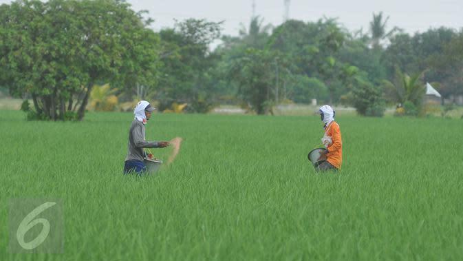 Petani memupuk tanaman padi di Karawang, Jawa Barat, Senin (4/7). Kementerian Pertanian optimis target produksi padi sebesar 75,13 juta ton pada tahun 2016 dapat tercapai. (Liputan6.com/Gempur M Surya)