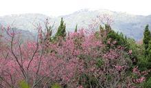 陽明山又雪花紛飛? 這次換櫻花與湯花共迎草山花見