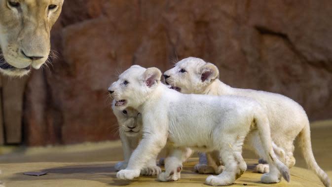 Induk singa putih langka Kiara berdiri dekat tiga anaknya di kebun binatang di Magdeburg, Jerman, Rabu (15/1/2020). Tiga singa putih langka berjenis kelamin satu jantan dan dua betina tersebut lahir pada 11 November 2019. (AP Photo/Jens Meyer)