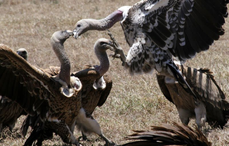 Poisoned carcasses killing off Kenya's vultures