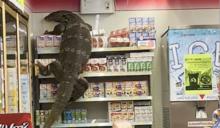 民眾逛小七買飲料 驚見「180公分巨型蜥蜴」嚇呆