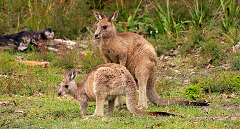 Within weeks of each other, three joeys were stolen from a nature reserve in Melbourne's north and mutilated