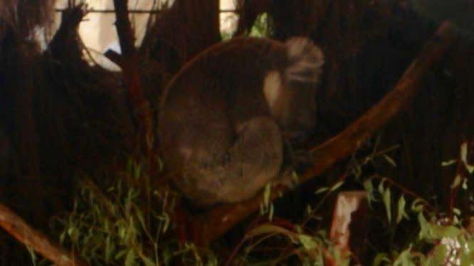2050 Koala Terancam Punah