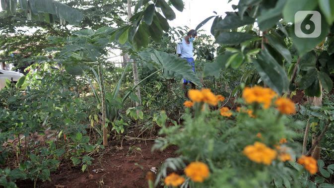 Pungki (53) memeriksa tanaman perkebunan di kolong Tol Becakayu, Kalimalang, Jakarta, Kamis (4/6/2020). Sudah dua tahun Pungki dibantu dua temannya membuat perkebunan secara swadaya di kolong Tol Becakayu dengan harapan mampu mengurangi polusi. (merdeka.com/Iqbal S. Nugroho)