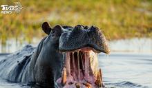 鱷魚突襲喝水牛遭「河馬強撲」 下秒猛禽飛來成大亂鬥