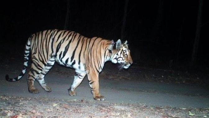 Harimau yang dilengkapi dengan kerah radio itu, meninggalkan rumahnya di suaka margasatwa negara bagian barat Maharashtra pada Juni 2019. (Liputan6.com/BBC)