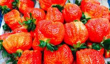 草莓季來囉!安全可溯源「大湖草莓」進入盛產期