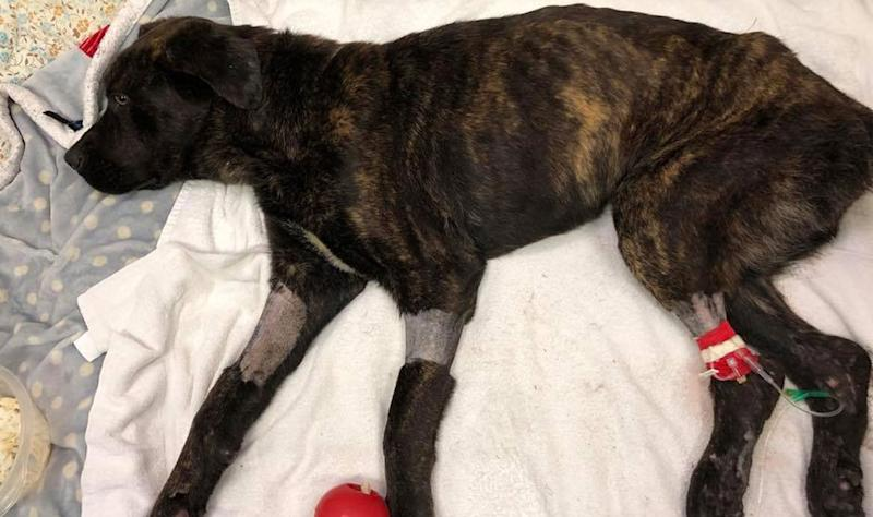 Champ, a one-year-old Mastiff mix, was found malnourished covered in maggots and worms tied to a tree at a home in South Carolina in August. The home owner, Elizabeth James, was left with the dog by her ex-boyfriend. Source: Rescue Dogs Rock NYC